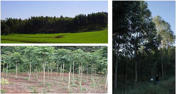 Florestas Plantadas
