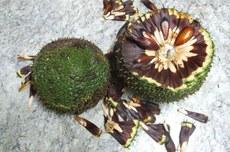 O rejeito da araucária também passa a possuir valor agregado, tornando-se uma nova fonte de renda para os produtores de pinhão