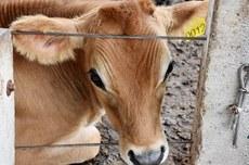 Pesquisa da UTFPR propõe novo método de identificação para substituição do brinco bovino (Foto: Decom).