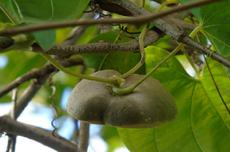 Cará-moela (Dioscorea bulbifera L.)